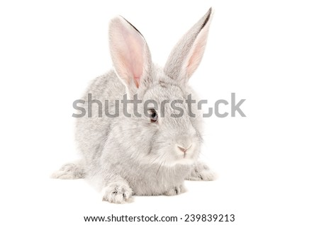 Portrait of a gray rabbit isolated on white background - stock photo