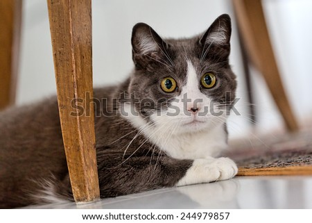 Portrait of a gray shorthair car with some white spots. Female cat laying on the floor below dining chairs. - stock photo