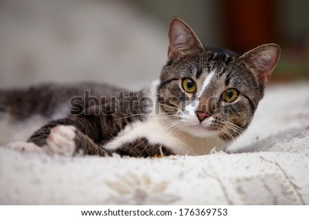 Portrait of a gray yellow-eyed cat. Striped cat. Striped not purebred kitten. Small predator. Small cat. - stock photo