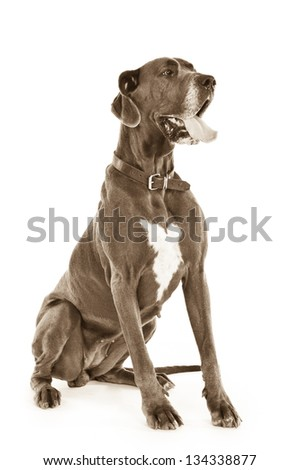 Portrait of a Great Dane (isolated) in black & white - stock photo