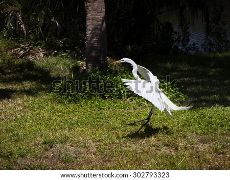 Portrait of a great white egret flies with nature background - stock photo