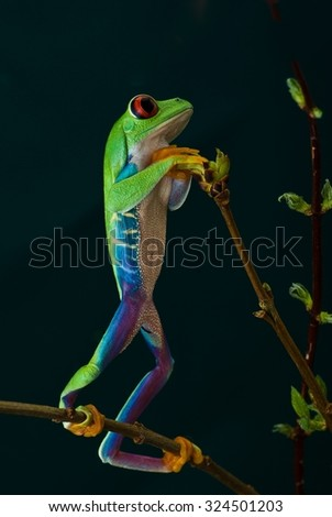 Portrait of a green frog with red eyes. Unique, rare moment - stock photo
