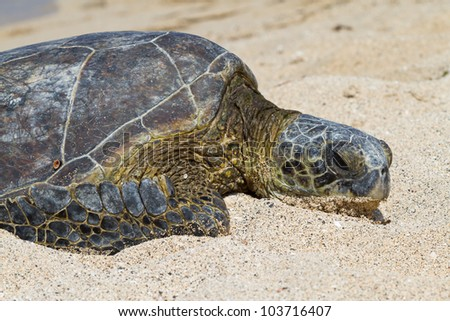 Portrait of a Green Sea Turtle on the beach on the Big Island - stock photo