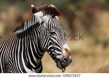 Portrait of a Grevys Zebra (Equus grevyi), also known as the imperial zebra, just shows the tongue, in Samburu National Reserve, Kenya - stock photo