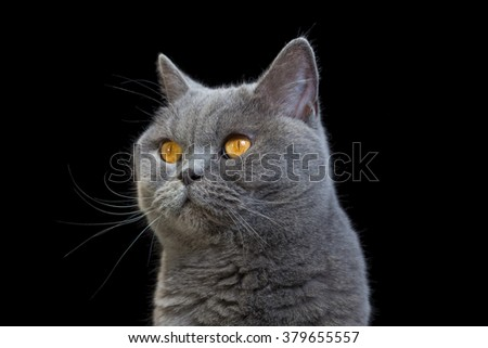 Portrait of a grey cat on black background. - stock photo