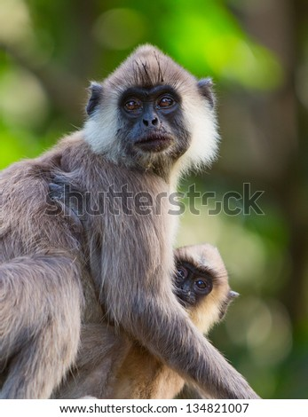 Portrait of a grey Macaque monkey with her baby - stock photo