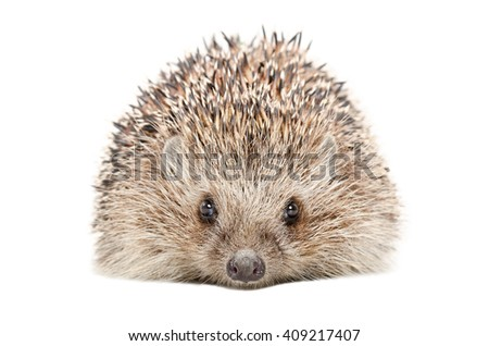Portrait of a hedgehog isolated on a white background - stock photo