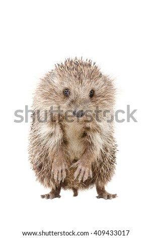Portrait of a hedgehog standing on his hind legs isolated on a white background - stock photo
