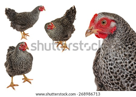 portrait of a hen isolated - stock photo