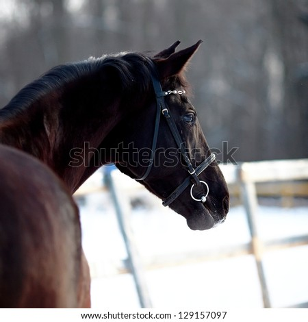 Portrait of a horse. Sports horse. Thoroughbred stallion. Muzzle of a horse. Saddle horse. - stock photo
