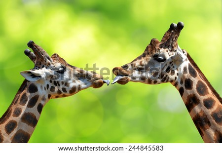 Portrait of a kissing giraffes  - stock photo