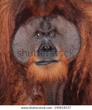 Portrait of a Large Male Orangutan - stock photo