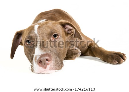 Portrait of a lazy young Pitt Bull and Labrador Retriever mix lying down isolated on white. - stock photo