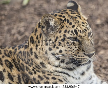 Portrait of a leopard - stock photo
