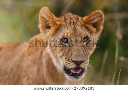 Portrait of a Lion cub from Rekero Pride in Masai Mara, Kenya - stock photo