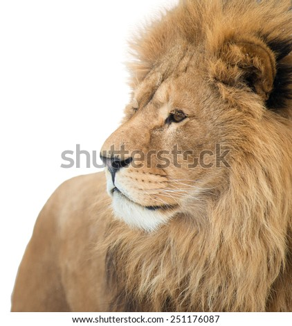 Portrait of a lion. isolated - stock photo