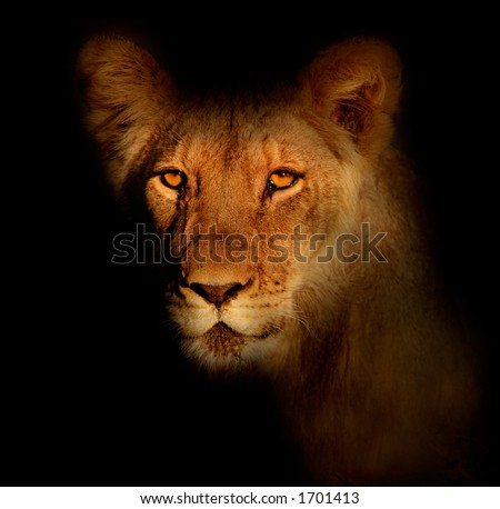Portrait of a lion (Panthera leo) with black background and intense eyes - stock photo