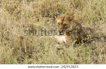 Portrait of a lioness, at Serengeti National Park, Tanzania - stock photo