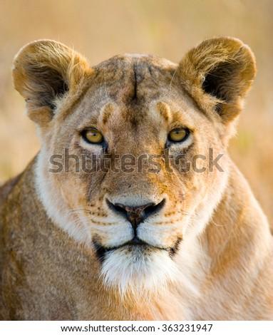 Portrait of a lioness. Close-up. Kenya. Tanzania. Maasai Mara. Serengeti. An excellent illustration. - stock photo