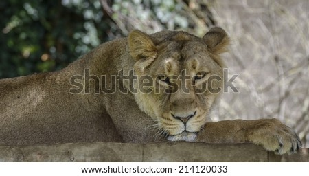 Portrait of a Lioness relaxing and starring at the Camera - stock photo