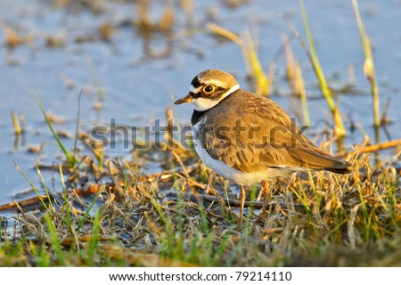 Portrait of a little ringed plover (charadrius dubius). - stock photo