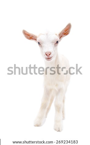 Portrait of a little white goat in full length, isolated on white background - stock photo