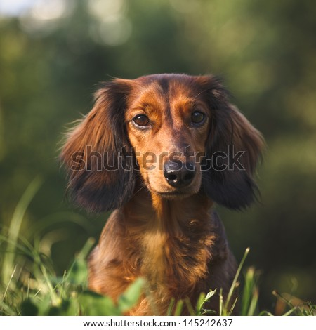 Portrait of a long haired dachshund in a grass - stock photo