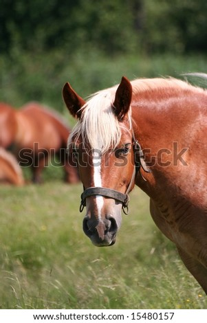 Portrait of a lovely brown horse on pasture - stock photo