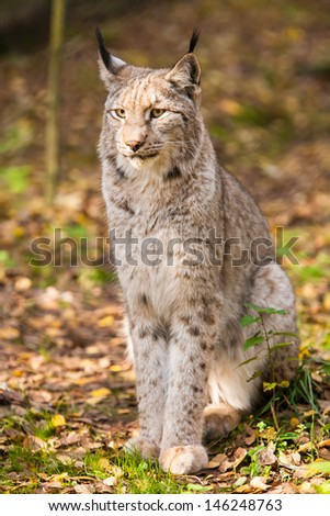 portrait of a lynx sitting on leaves in autumn forest  - stock photo
