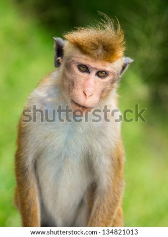 Portrait of a Macaque monkey on a green background - stock photo