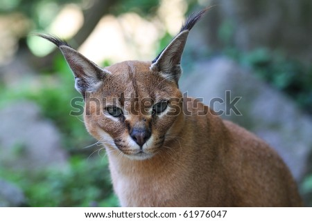 Portrait of a magnificent lynx from Africa - stock photo
