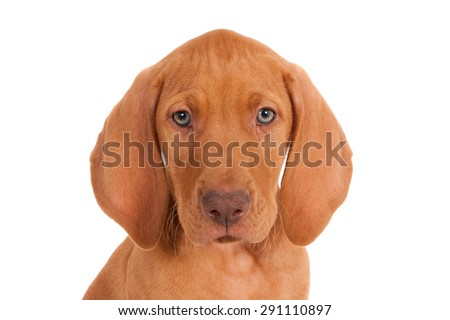 Portrait of a Magyar Vizsla puppy against a white background - stock photo