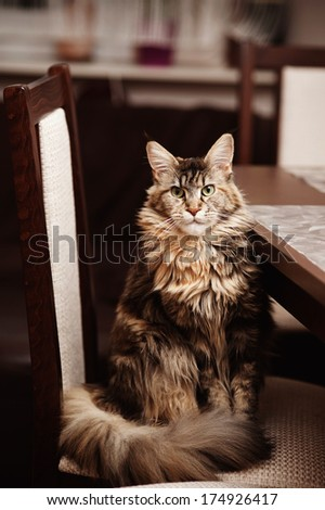 Portrait of a Maine Coon cat - stock photo