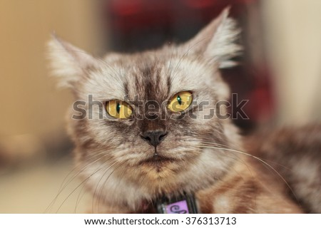 Portrait of a Maine Coon cat. Maine Coons are well-known for their intelligence and their ability for quickly learning knew things. - stock photo