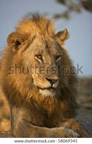 Portrait of a male lion in the evening light - stock photo