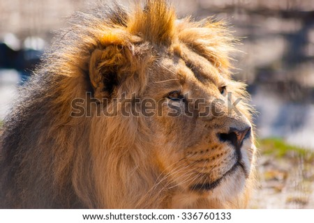 Portrait of a male lion in the sun - stock photo