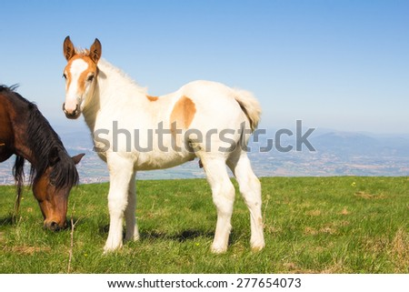 Portrait of a mare and her foal in rye field  - stock photo