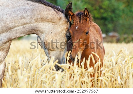 Portrait of a mare and her foal in rye field with beautiful green background. - stock photo