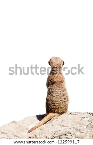 Portrait of a meerkat (or Suricate) on white background - stock photo