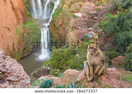 Portrait of a monkey on Ouzoud Waterfall in Morocco - stock photo