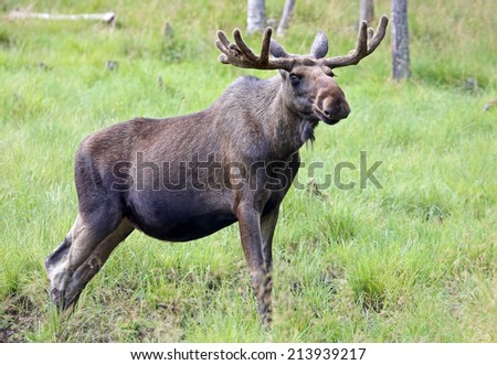 Portrait of a Moose bull (Alces alces) - stock photo