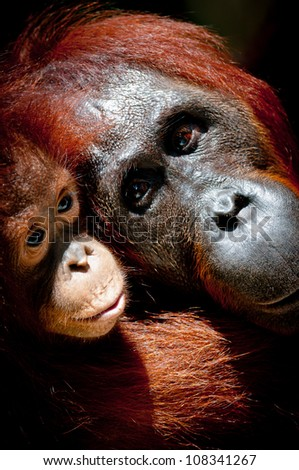 Portrait of a mother with an infant orangutan, Tanjung Puting National Park, Kalimantan, Borneo. The image is vertical format and the two orangutans almost fill the frame. - stock photo