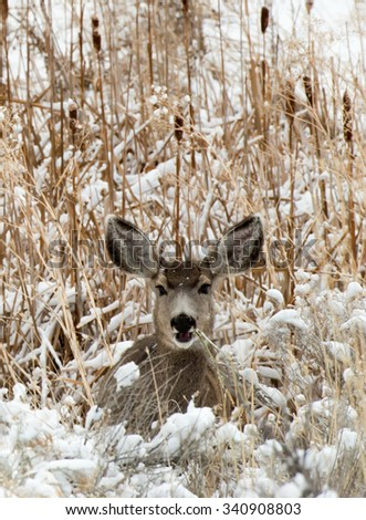 Portrait of a mule deer doe laying in snow covered grass; chewing on grass; mouth open with look of surprise - stock photo