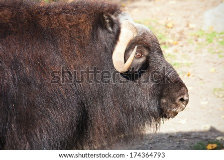 Portrait of a musk ox or Ovibos moschatus in zoo - stock photo