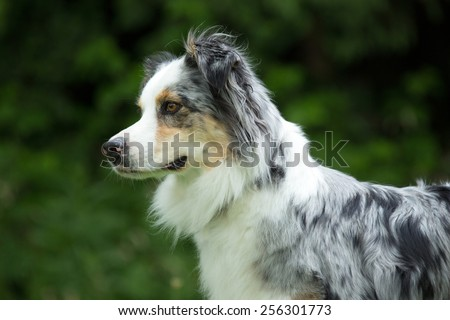 Portrait of a nice Border Collie - stock photo