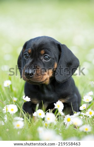 Portrait of a nice Dachshund puppy in the garden - stock photo