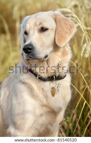 Portrait of a nice dog in the grain - stock photo