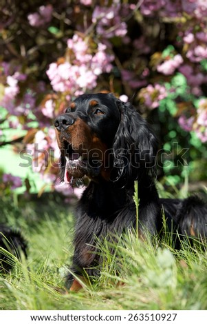 Portrait of a nice Gordon Setter in the garden - stock photo