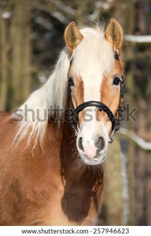 Portrait of a nice Haflinger horse - stock photo