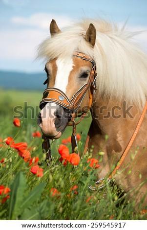 Portrait of a nice haflinger pony in poppy field - stock photo